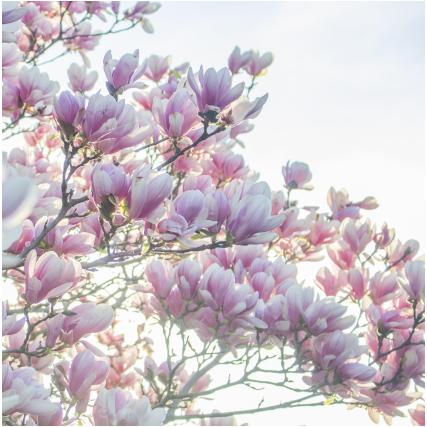 Cropped Arbre En Fleur 1.png